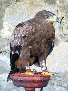 Livscyklus Golden Eagle