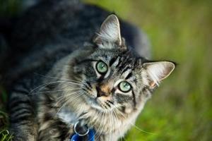 Hvordan man bruger eddike til kat frastødende