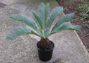Sådan Care for Sego Palms