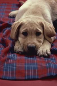 En Liste over Hængende Eared Dogs