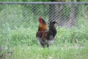 Hvad er fordelene ved at have en hane med æglæggende høner?