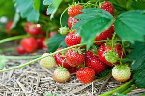 Sådan beskære jordbær