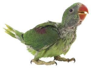 Bakterier, der påvirker Fugle