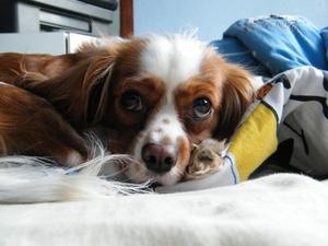 Vitamin B6 som et diuretikum til hunde med medfødt hjertesvigt