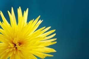 Chrysanthemum olie naturligt dræbe hveps