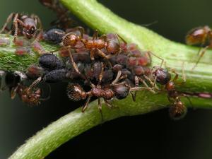 Hvordan man kan stoppe myrer fra at spise planter