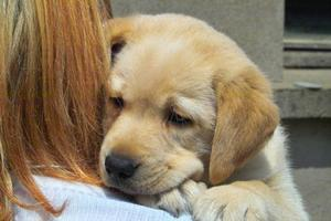 Kramper i Labrador hunde
