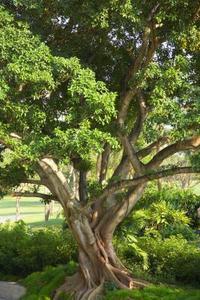 Sådan Care for forgæves figentræer