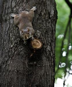 Sådan Hold Egern Out of Apple Trees