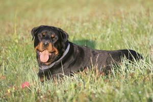 Farlige og aggressiv hund racer