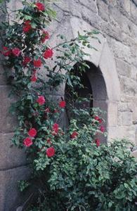 Hardy Klatring Roses