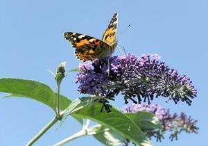 Hvornår skal jeg beskære min Butterfly Bush?