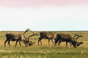Hvordan til at leve i tundraen