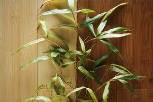 Sådan Care for Bamboo Plant
