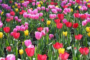 Sådan Plant Tulipaner udenfor efter de blomstrer i Pots