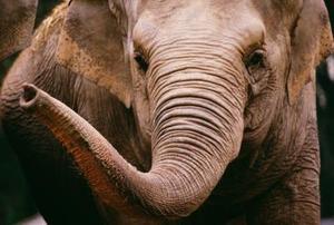 Elephant kunst aktiviteter for førskolebørn