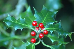 Hvornår skal Prune Holly buske i Virginia