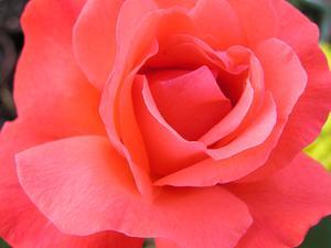 En liste over de mest duftende roser