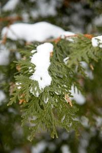 Sådan Beskyt Leyland Cypress fra sneen