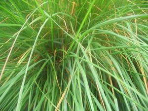 Indianske Planter til Farvestoffer