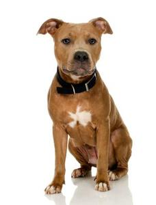 Sådan Care for Red Nose Pitbull Puppies