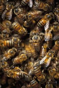 Sådan slippe af med en Bees 'Nest i Parlamentet