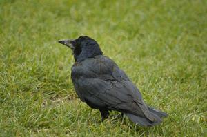 Hvordan undgår krager fra spise på oksetalg fødere