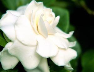 Sådan Cut Gardenias til en Vase