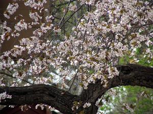 Hvor høj har en lyserød kirsebær piletræ vokse?