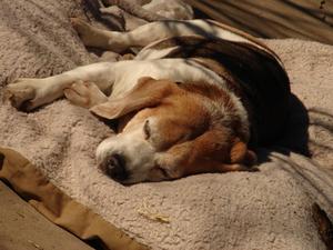 Bedste løsninger at helbrede kronisk diarré hos hunde