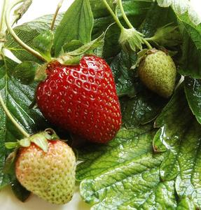 Hvordan laver jeg højbede til plantning af jordbær?