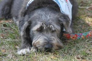 Slagtilfælde prognose for en hund