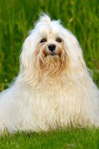 Hvad er årsagen Brown på hvid pels på Dogs?