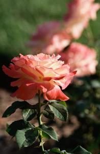 Hvad er en engelsk Rose?