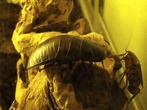Hjemmelavet borsyre Roach Killer