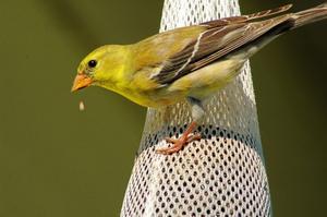 Hvilke fugle spiser solsikkefrø