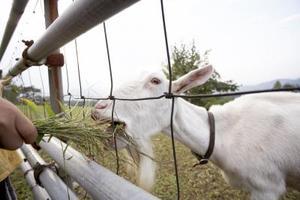Goat Fægtning Tips