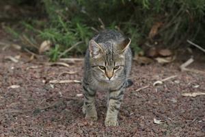 Hvorfor har katte Gnid munden på mennesker?