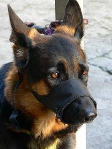 Hvor lang tid at holde en mundkurv på en hund