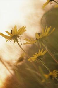 Sådan at plante en Prairie Flower Garden