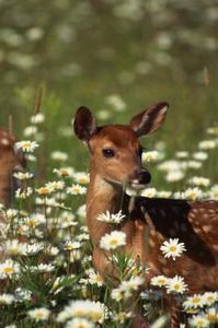 Hvordan man kan tegne billeder af Deer