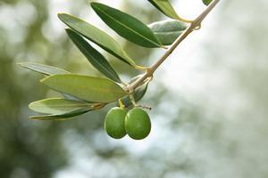 Hvad er de behandlinger af oliventræ allergi?