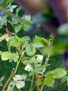 Hvad Bugs Eat Pea planter?