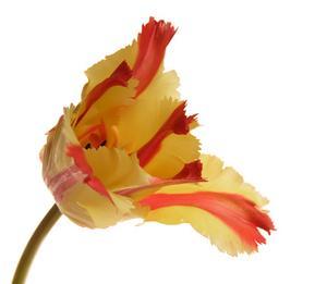 Parrot Tulip sorter