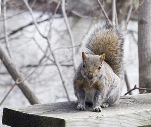 Hvordan man kan stoppe egern fra at spise sidespor