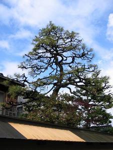 Hvordan man dyrker en japansk Umbrella Tree
