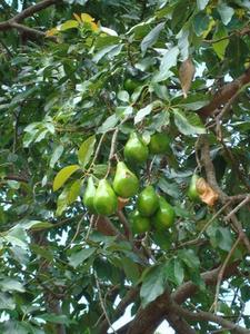 Hvordan man dyrker en podet Avocado Tree