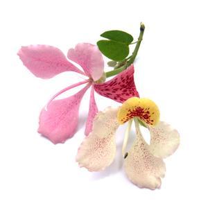 Native indonesiske Planter