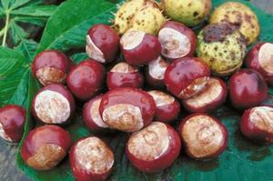 Sådan Grow Chestnut træer fra Nuts