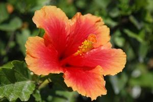 Hurtigt voksende Buske for Hot Sun